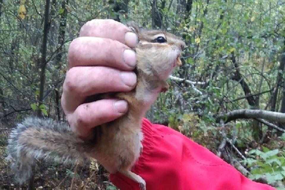 В лесу под Новосибирском грибники поймали бурундука, готовящего запасы на зиму. Фото: предоставлено Анной Чепурновой.